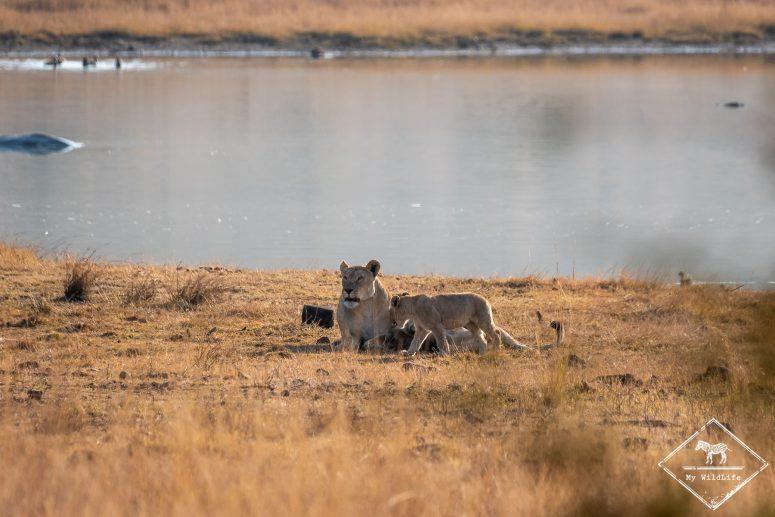Lionne, parc national Pilanesberg