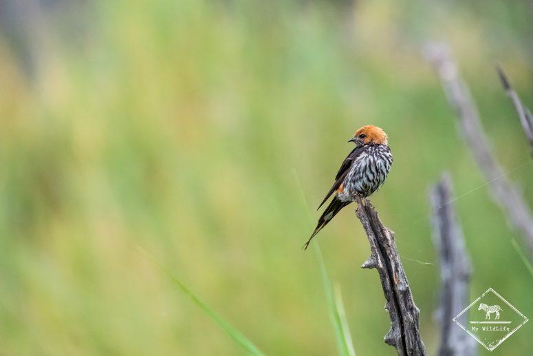 Hirondelle striée, parc national Pilanesberg