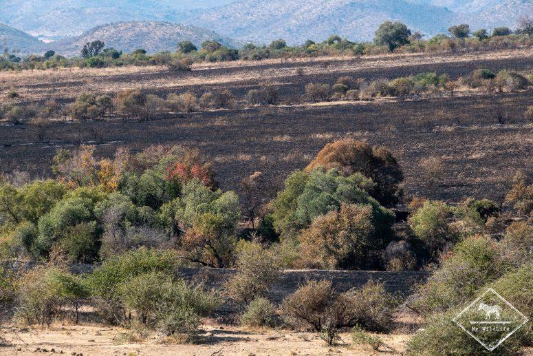 Paysage brulé du parc national Pilanesberg