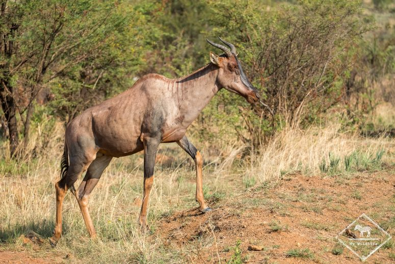 Tsessebe, parc national Pilanesberg