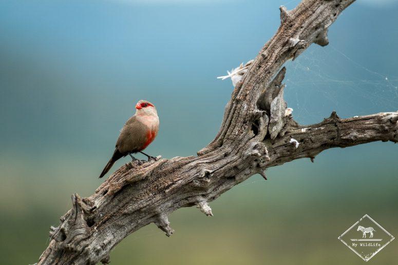 Astrild ondulé, parc national Pilanesberg
