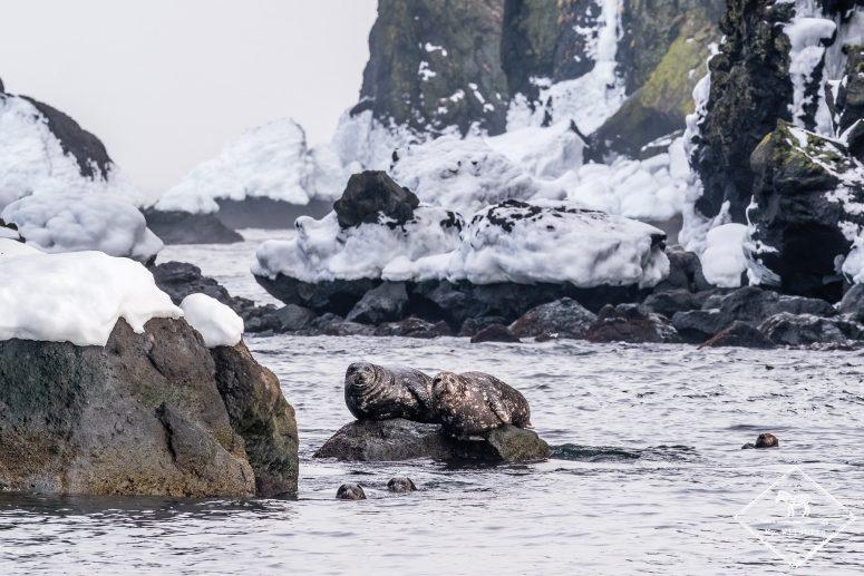 Phoques communs, Quels animaux voir en hiver à Hokkaido ?