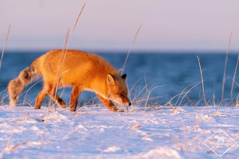 Renard roux de Sakhalin, Hokkaido
