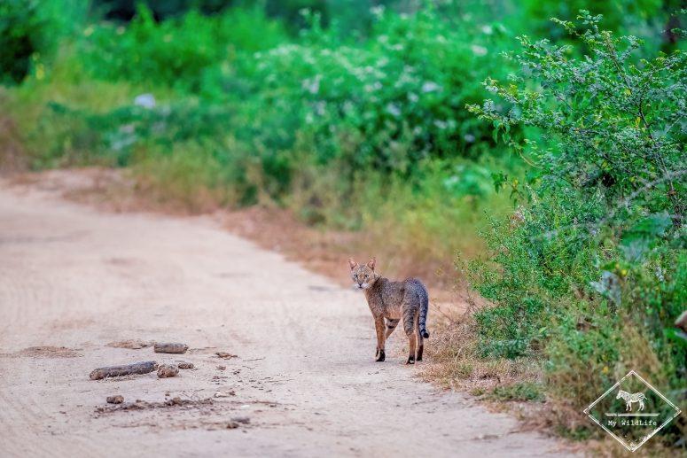 Chat de la jungle, parc national Udawalawe