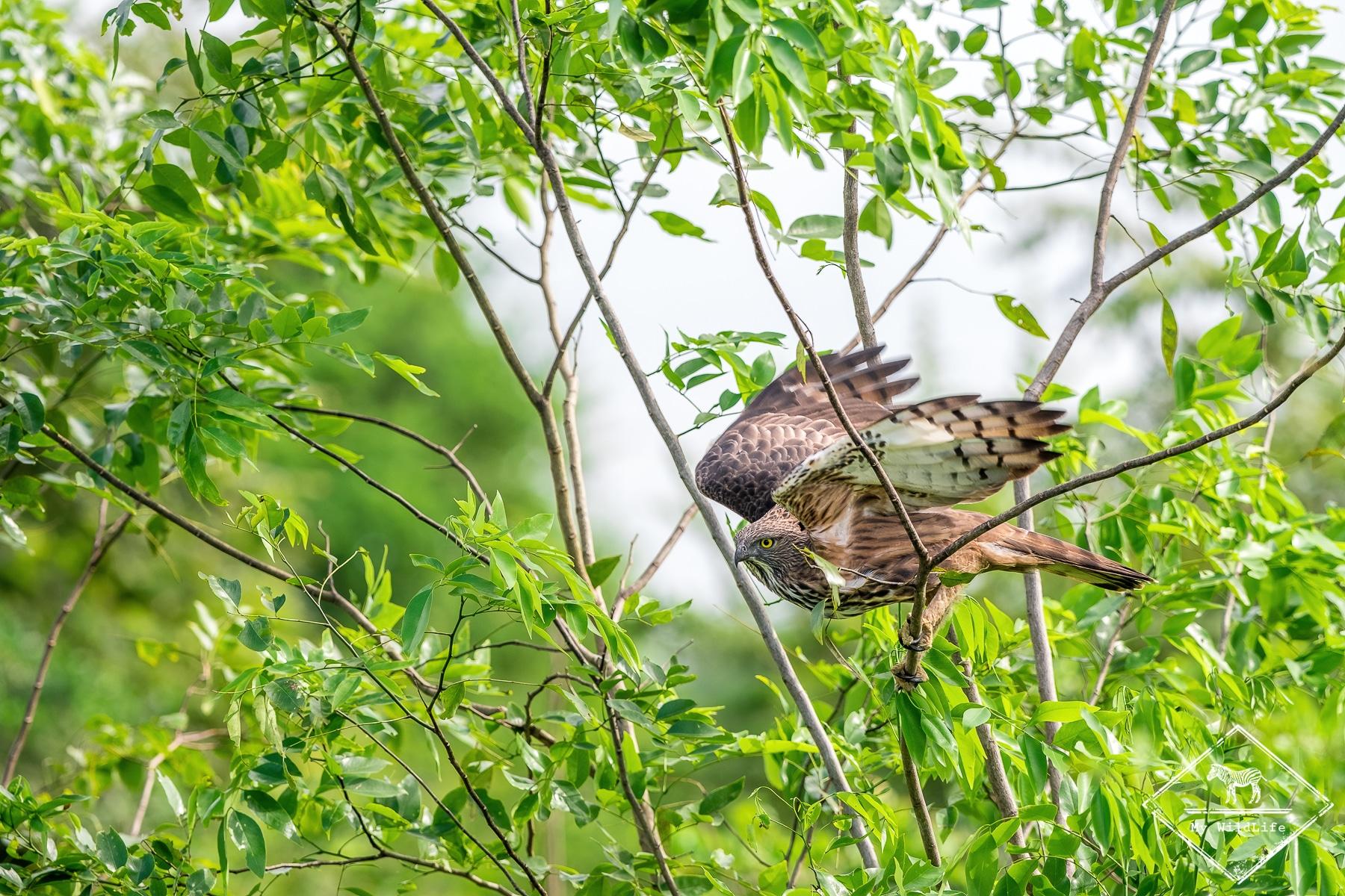 Aigle huppé, parc national Udawalawe