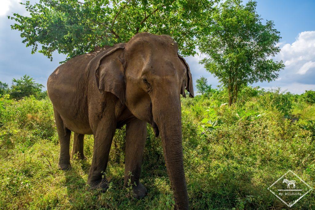 Safari dans le parc national Udawalawe, éléphant
