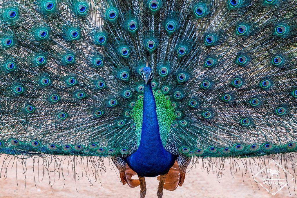 Paen bleu, parc national Udawalawe