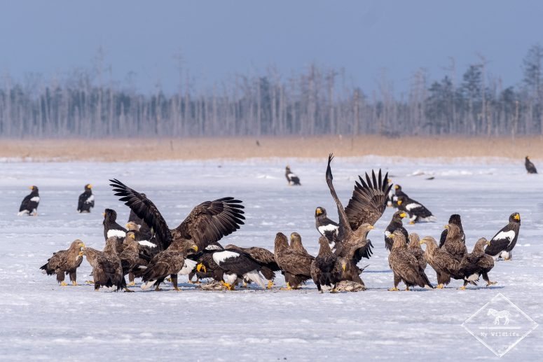 Photo d'aigles au Lac Furen