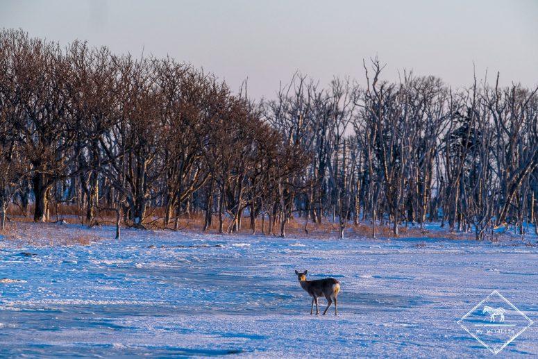 Faune d'Hokkaido, cerf Sika