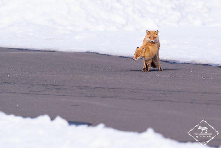Accouplement de renards