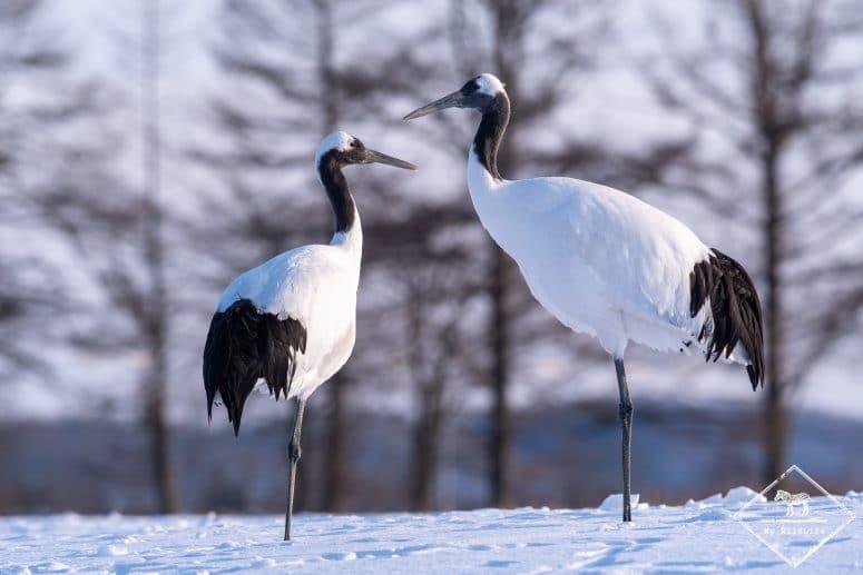 La faune d'Hokkaido, grues du Japon