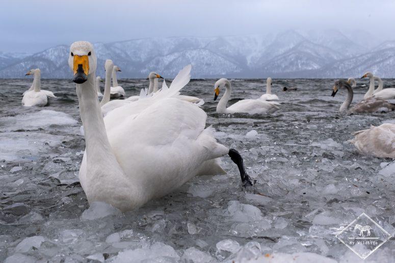 Faune d'Hokkaido, cygnes chanteurs