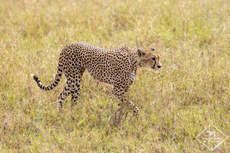 Guépard, Serengeti