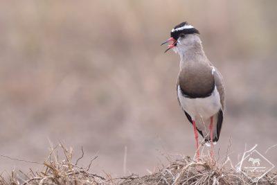 Vanneau couronné, Serengeti