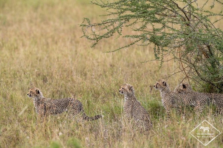 Guépardeaux, Serengeti