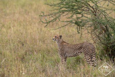Guépard, parc national Serengeti