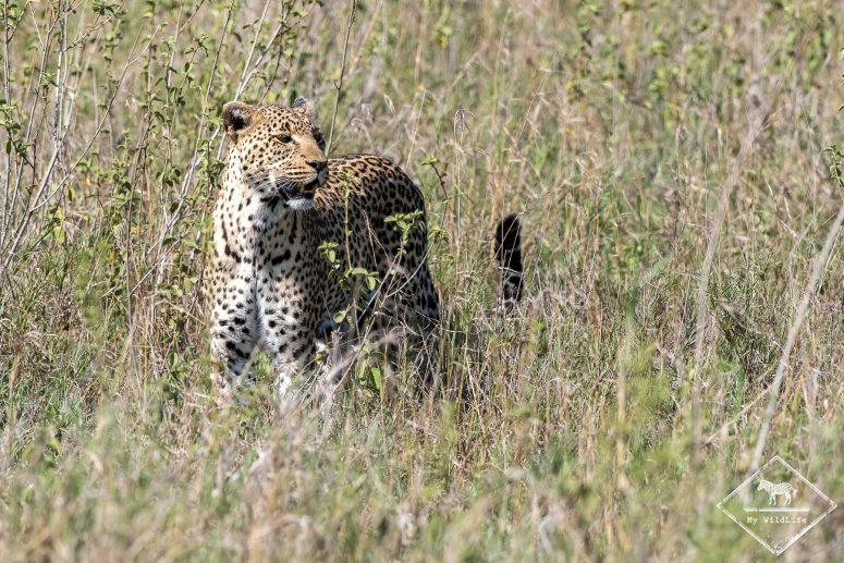 Léopard, Serengeti