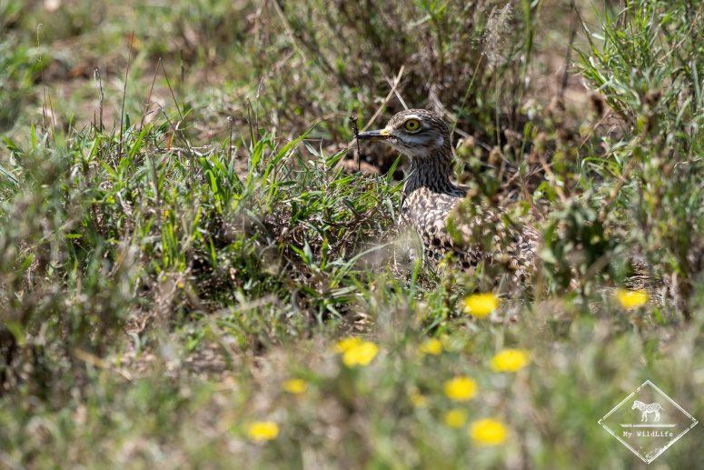 Oedicnème tachard, Serengeti