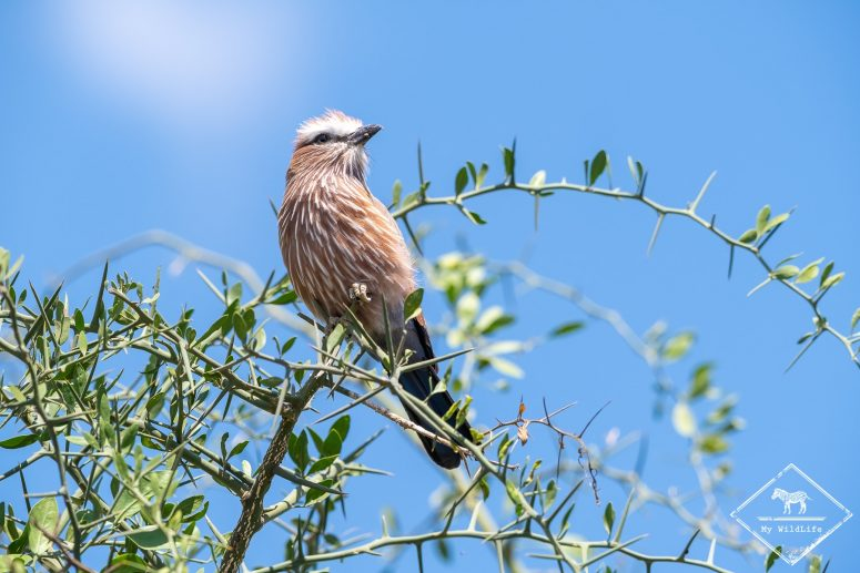 Rollier Varié, Serengeti