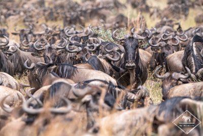 Migration des gnous