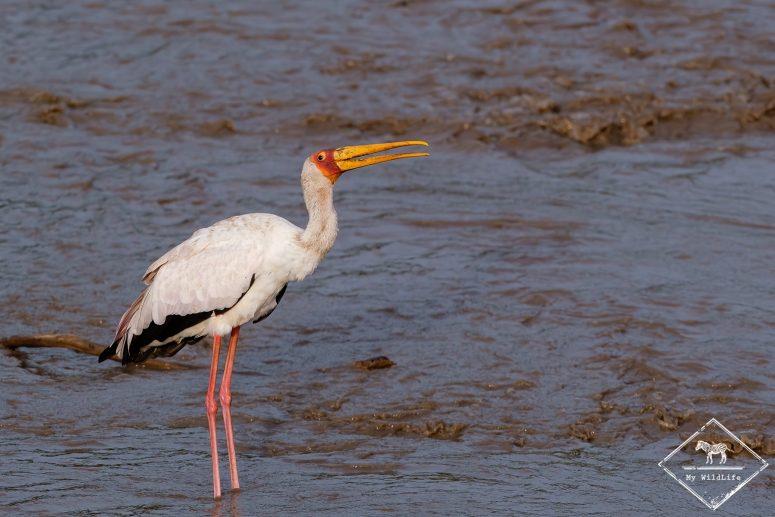 Tantale ibis, Serengeti