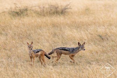 Chacals à chabraque, Serengeti