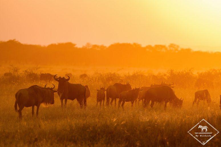 Gnous, Serengeti