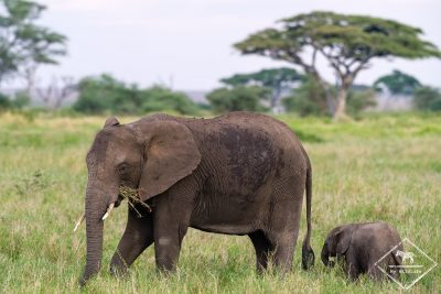 Eléphants, Serengeti