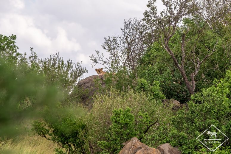 Lionne, Serengeti