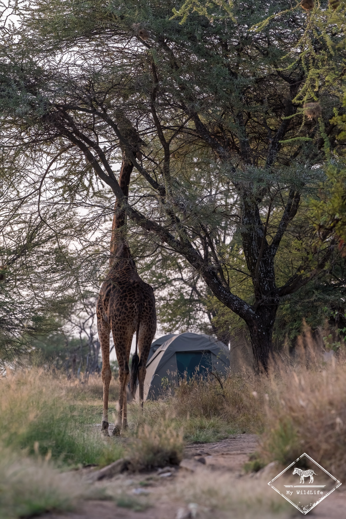 Girafe, camping de Seronera