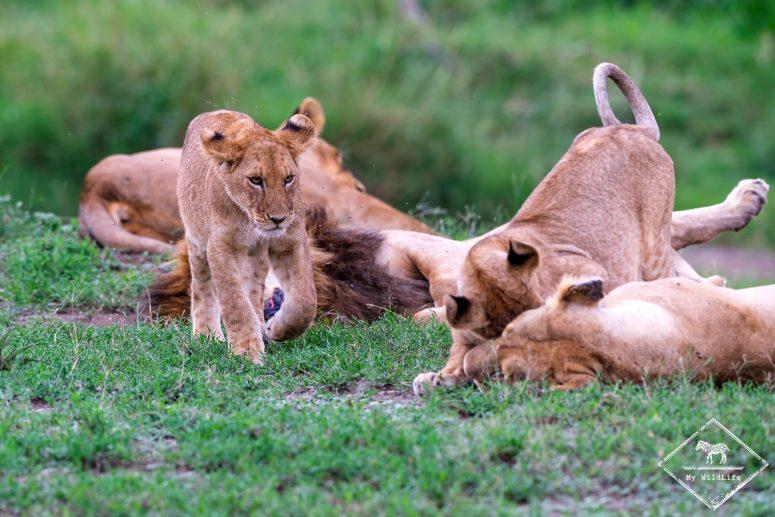 Lionceau, Serengeti