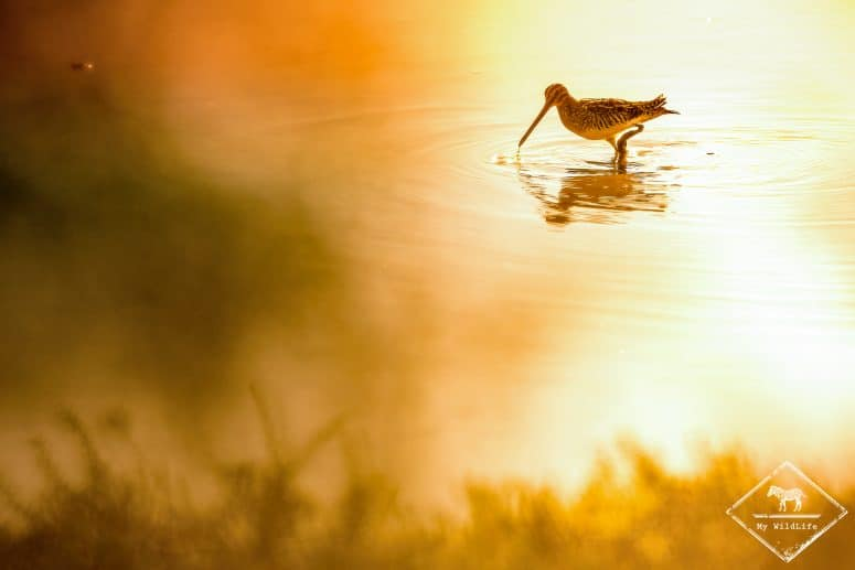 Bécassine des marais, parc ornithologique de Pont de Gau