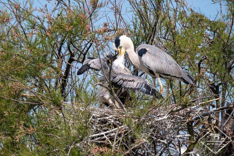 Nourrissage des jeunes hérons au nid