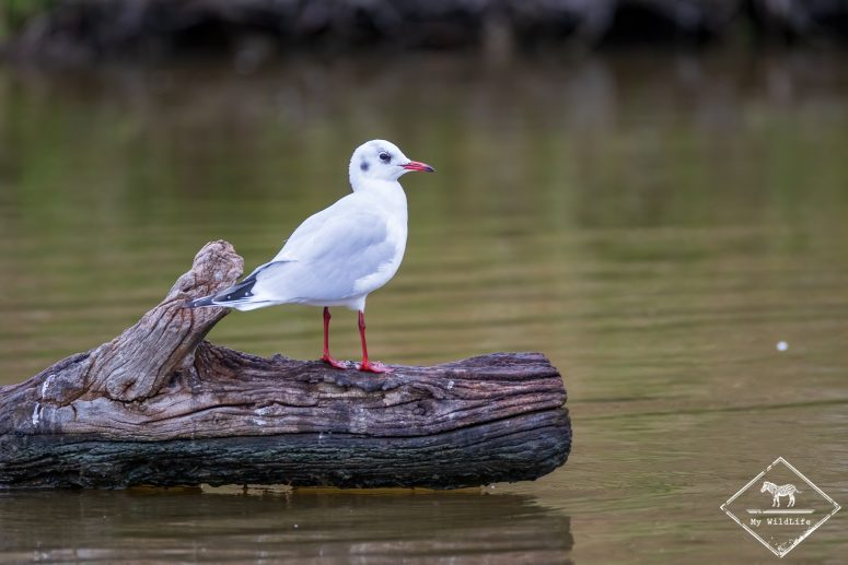 Mouette Tridactyle, plumage hivernal