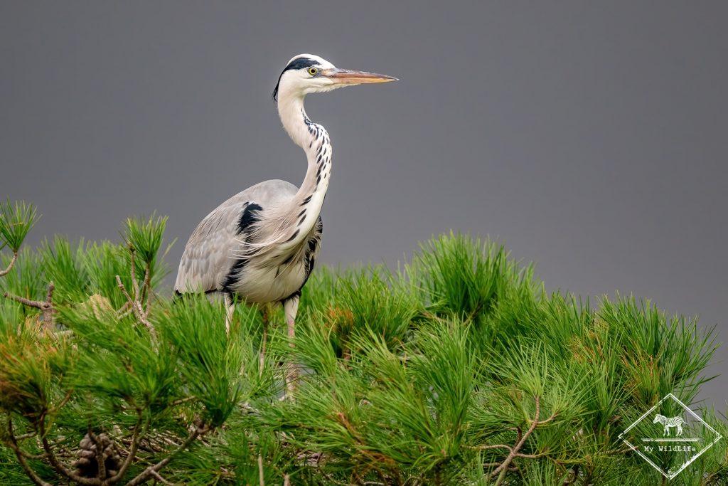 Héron cendré, parc ornithologique de Pont de Gaud