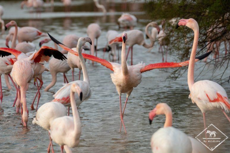 Flamant rose, Parc ornithologique de Pont de Gaud