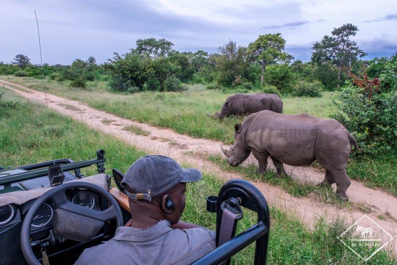 Rhinocéros blanc en safari