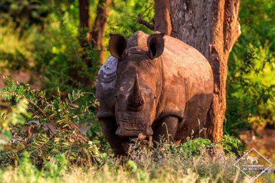 Rhinocéros blanc, Timbavati