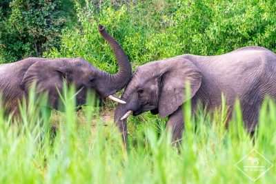 Eléphants, Timbavati