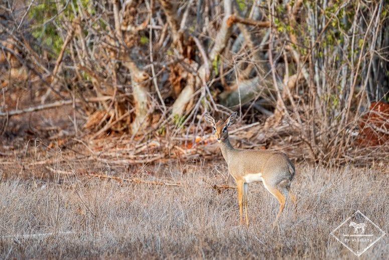 Dik-dik, parc national Tsavo East