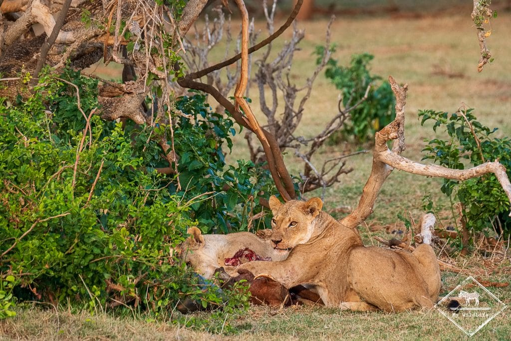 Lionnes, parc national Tsavo East