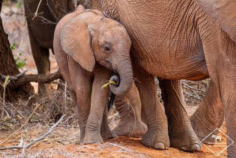 Eléphanteau, parc national Tsavo East