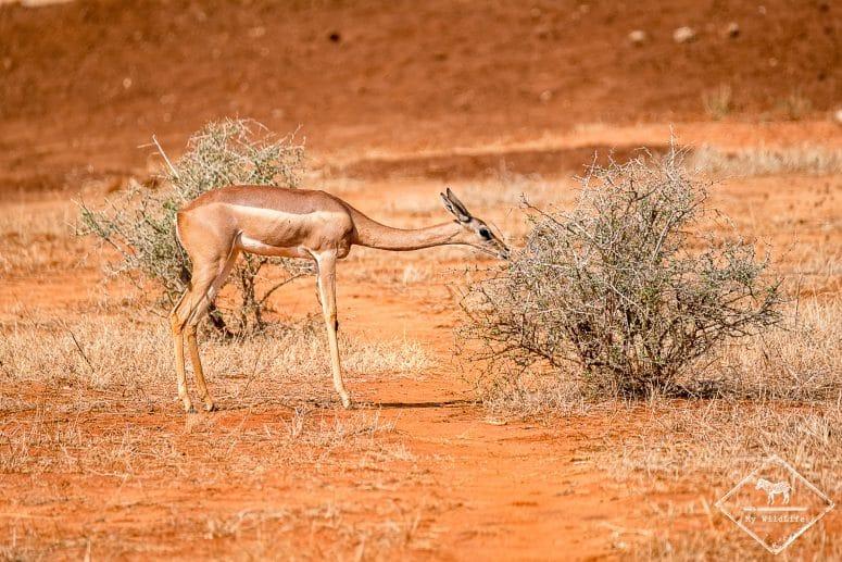 Antilope girafe, parc national Tsavo East