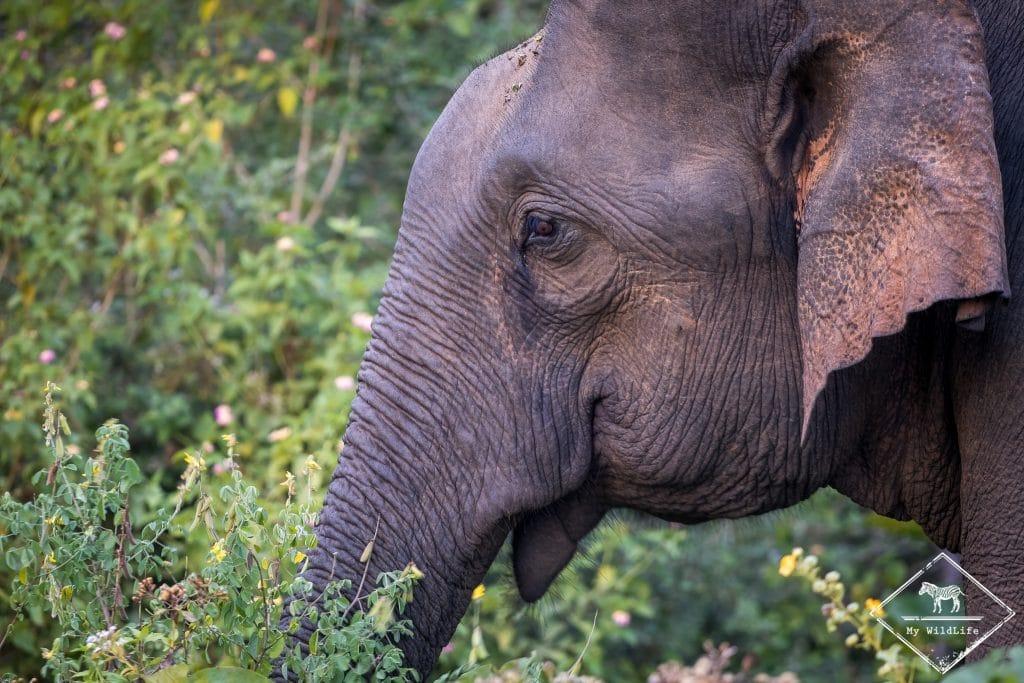 Eléphant d'Asie, parc national Udawalawe