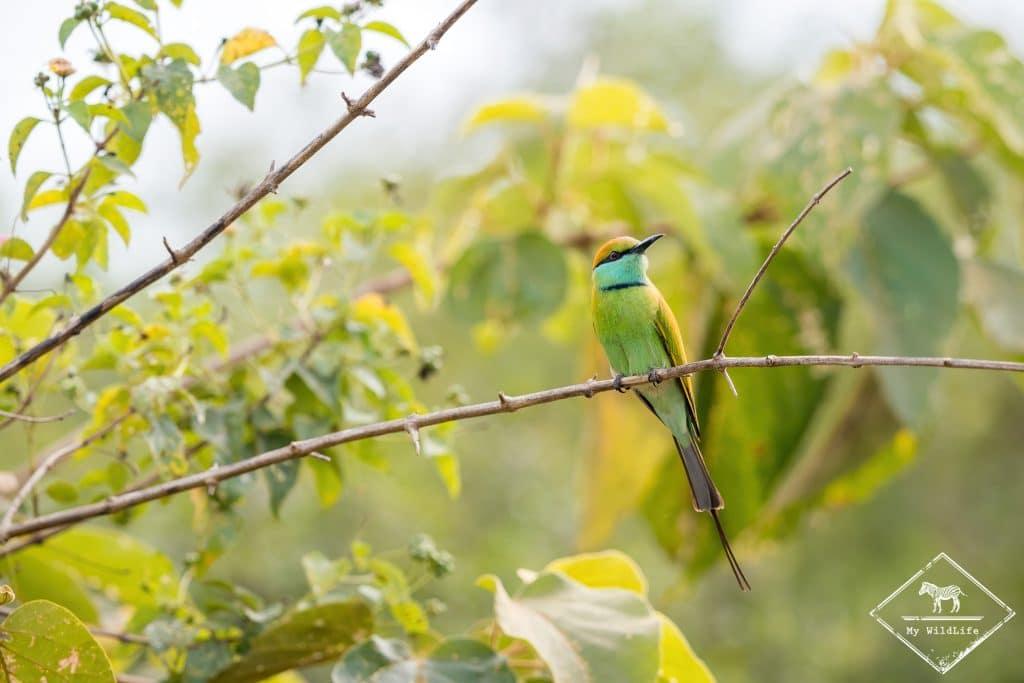 Guêpier d'orient, parc national Udawalawe