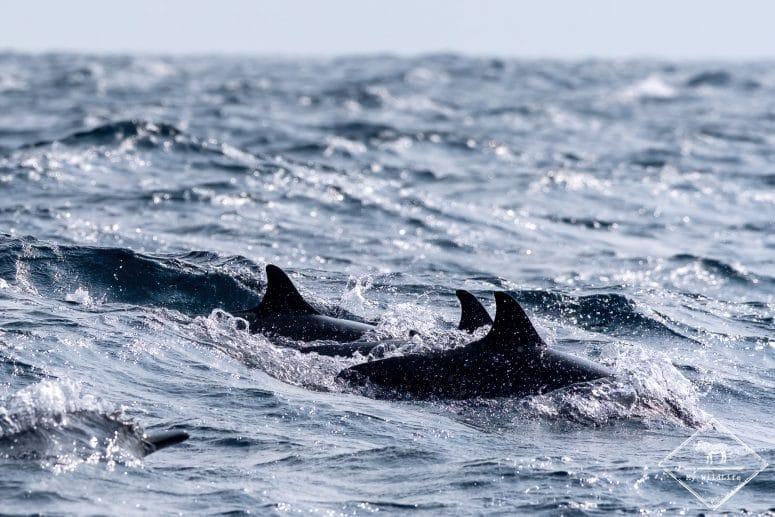 Dauphins à long bec