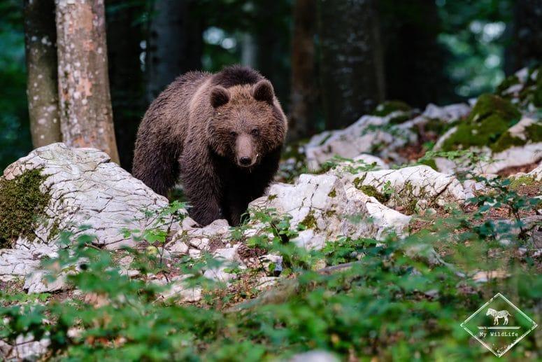 Ours brun, Slovénie