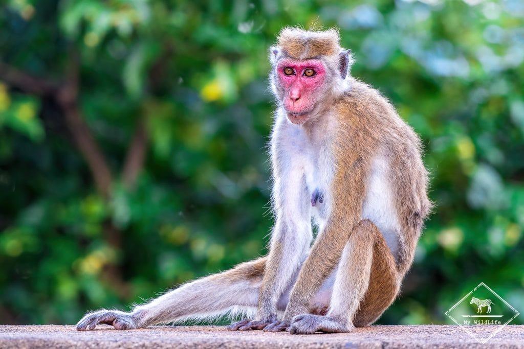 Macaque à toque