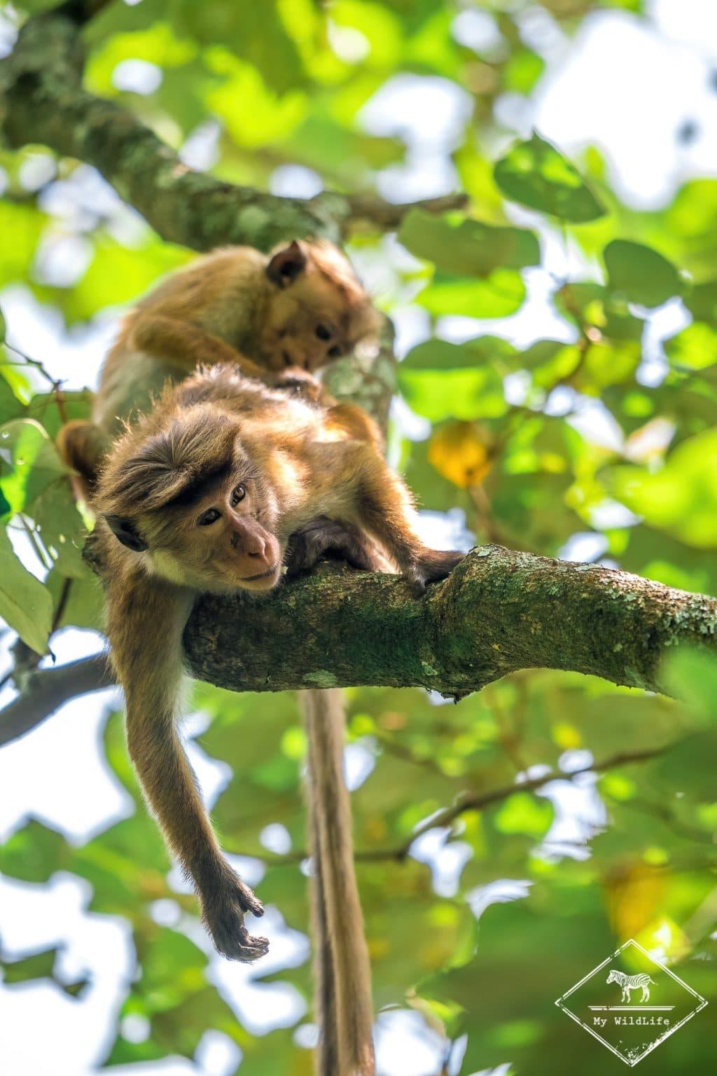 Macaques à toque en plein toilettage