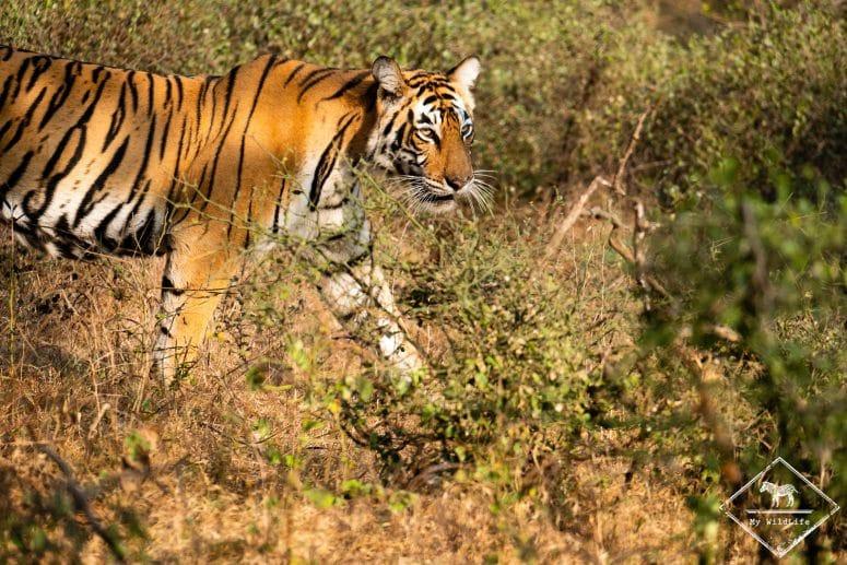 Photographier le tigre en Inde
